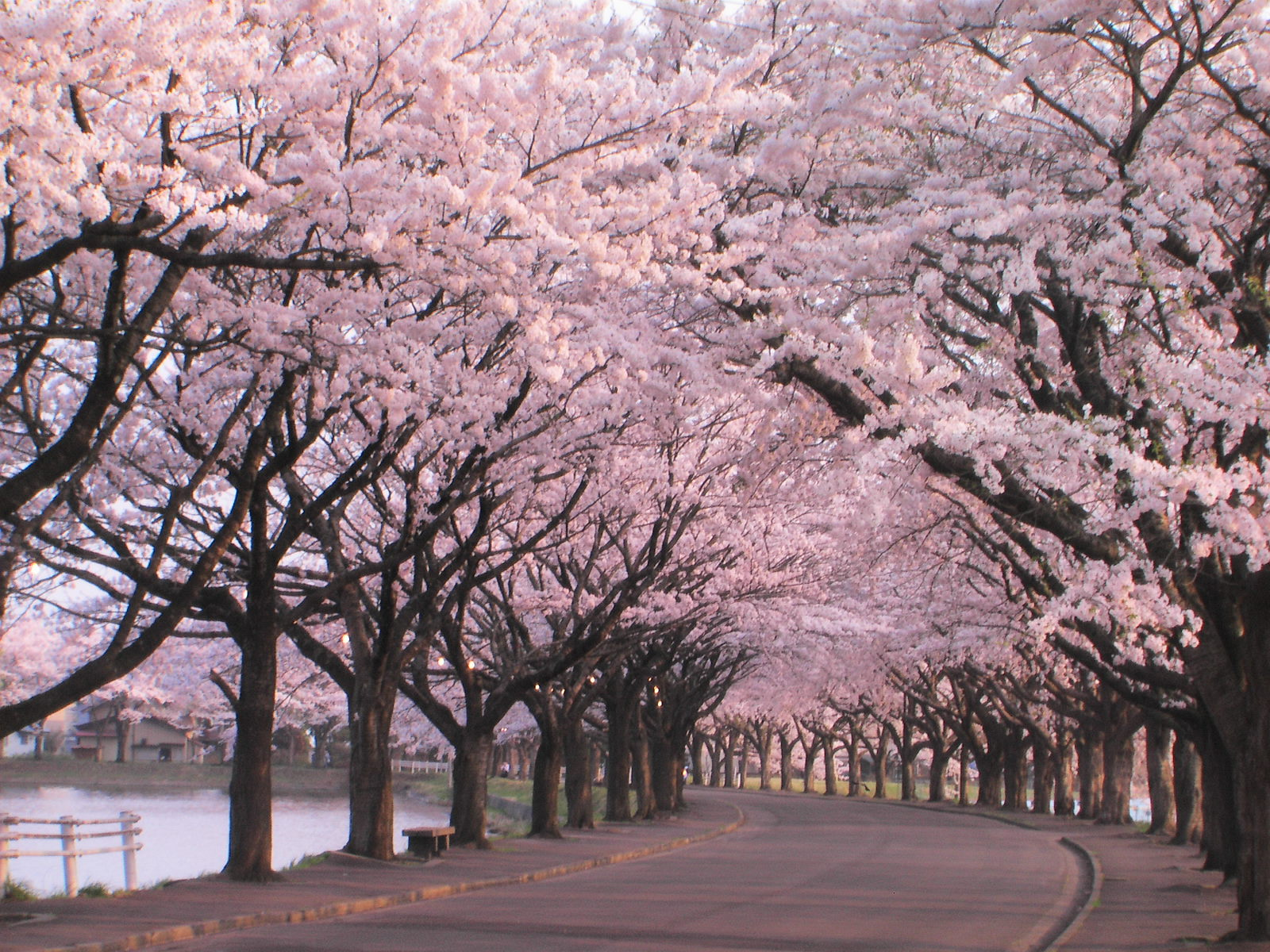 Japones De Arbol Sakura